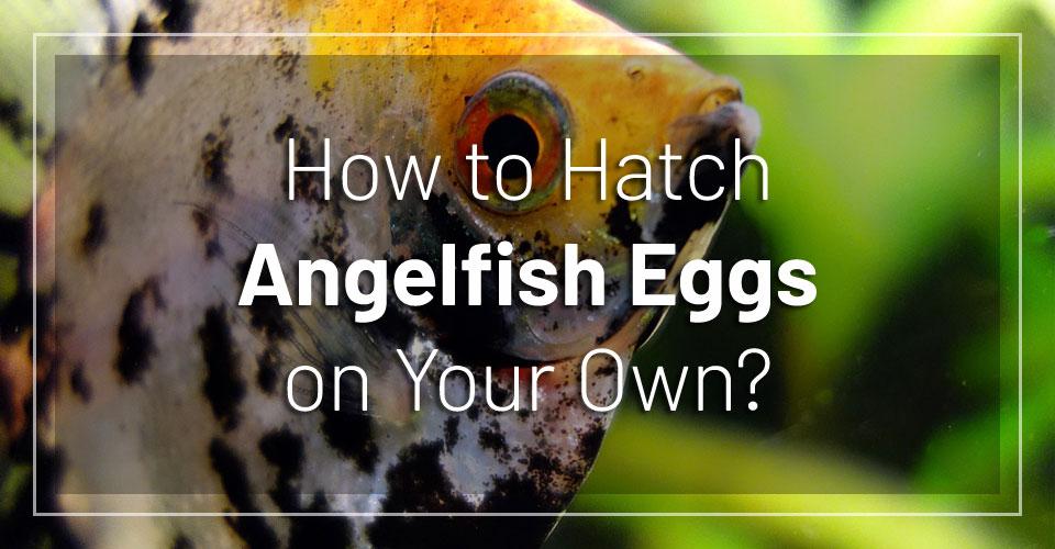 how-hatch-angelfish-eggs