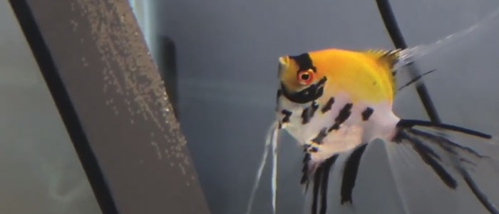 pre-hatching-angelfish-egg-stage