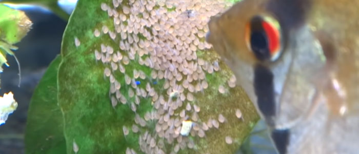 wiggler-stage-angelfish-eggs