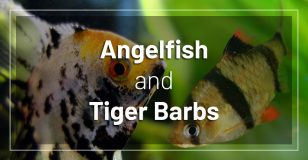 angelfish-and-tiger-barbs