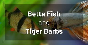 betta-fish-and-tiger-barbs