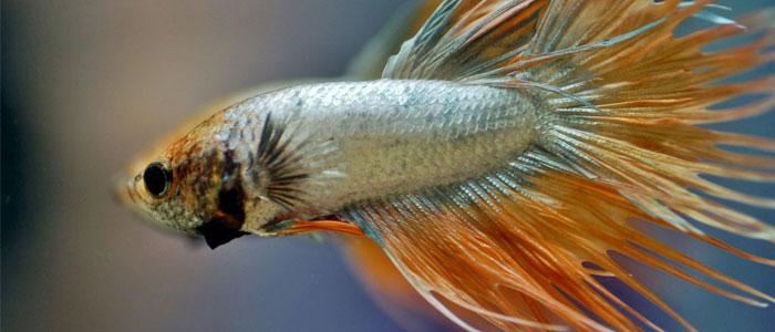 betta-fish-vs-tiger-barb