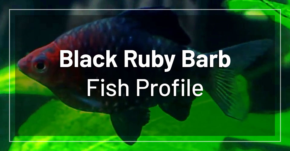 black-ruby-barb-fish