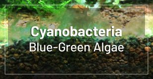 blue-green-algae-cyanobacteria