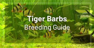 breeding-tiger-barbs