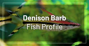 denison-barb-fish