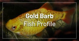 gold-barb-fish