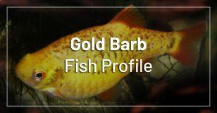 gold-barb-fish