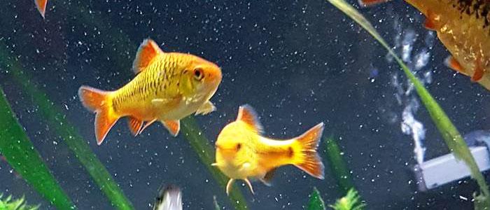 gold-barb-tank-mates