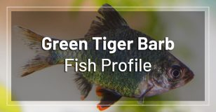 green-tiger-barb-fish-profile