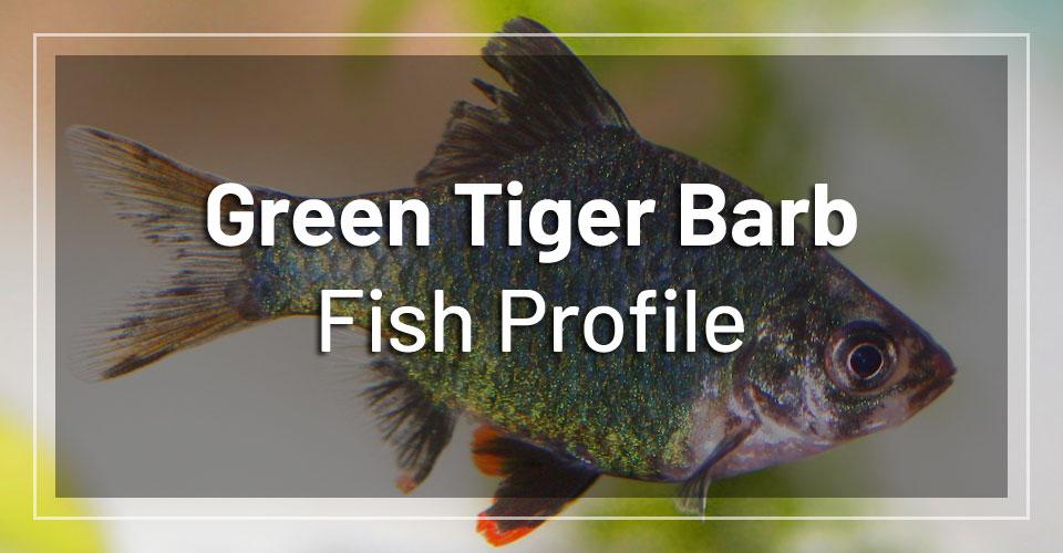 green-tiger-barb-fish-profile