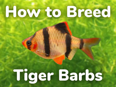 how-to-breed-tiger-barbs