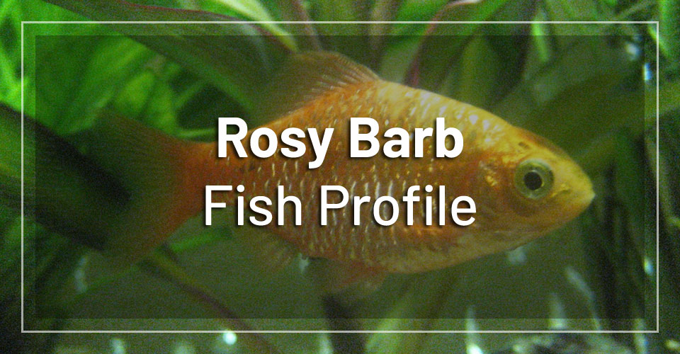 rosy-barb-fish