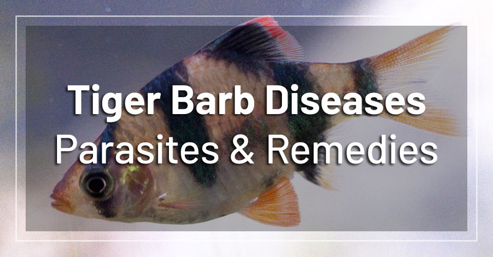 tiger-barb-diseases-parasites-remedies