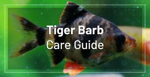 tiger-barb-fish-care