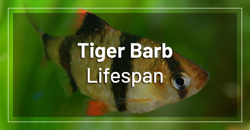 tiger-barb-fish-lifespan
