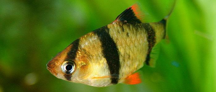 tiger-barb-vs-betta-fish