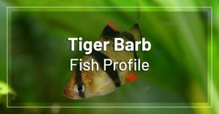 tiger-barbs