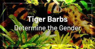 tiger-barbs-gender