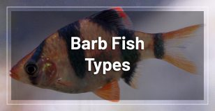 barb-fish-types