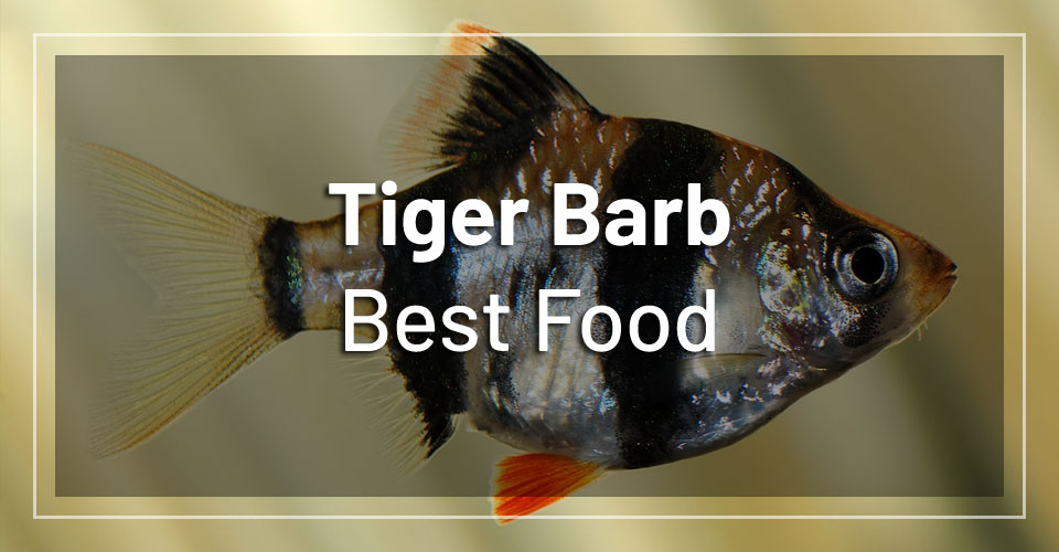 best-food-tiger-barbs