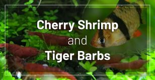 cherry-shrimp-and-tiger-barbs