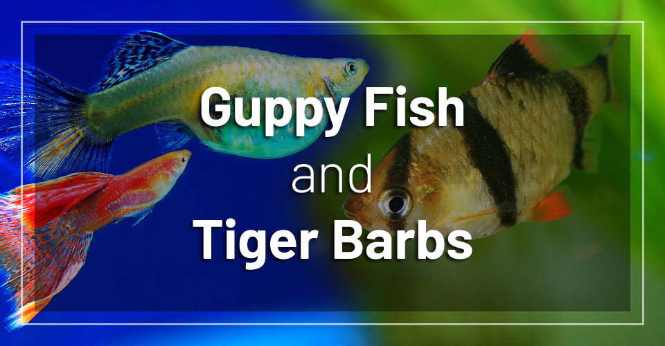 guppy-fish-and-tiger-barbs