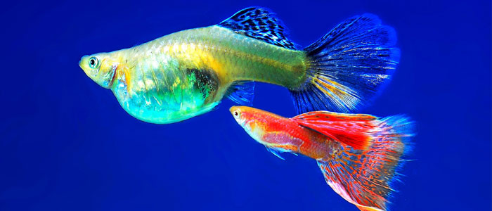 guppy-fish-vs-tiger-barbs
