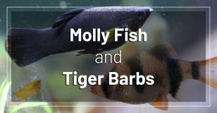 molly-fish-and-tiger-barbs