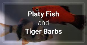 platy-fish-and-tiger-barbs