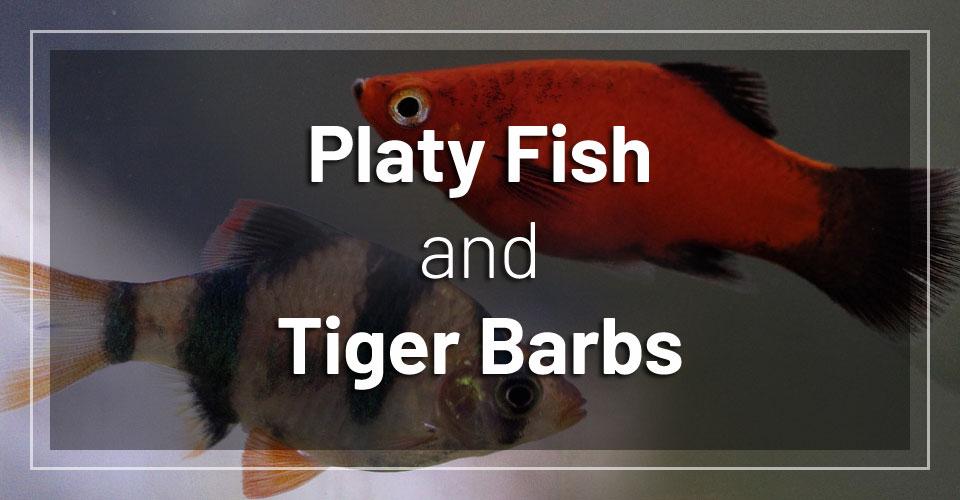 platy-fish-and-tiger-barbs