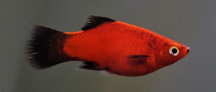 platy-fish-vs-tiger-barb