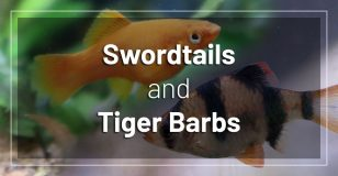 swordtail-fish-and-tiger-barbs