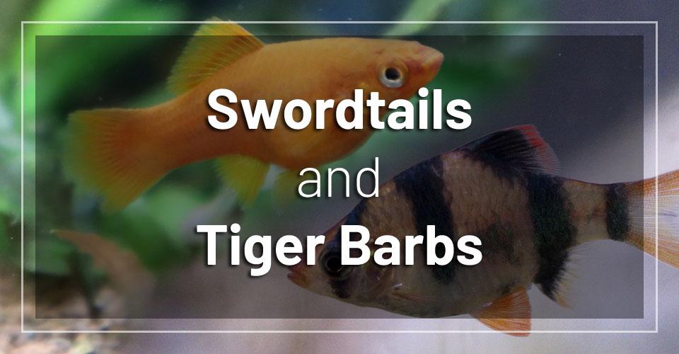 swordtail-fish-and-tiger-barbs
