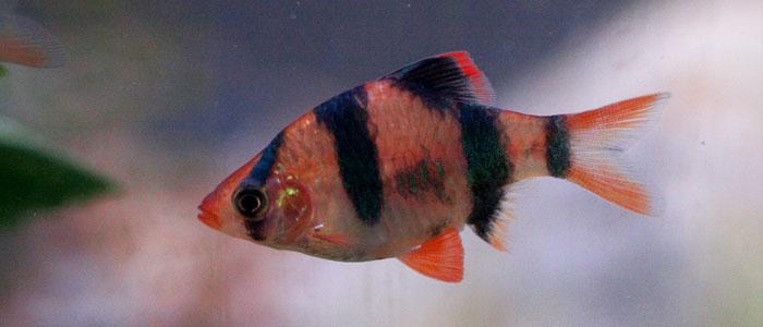 tiger-barb-vs-platy-fish