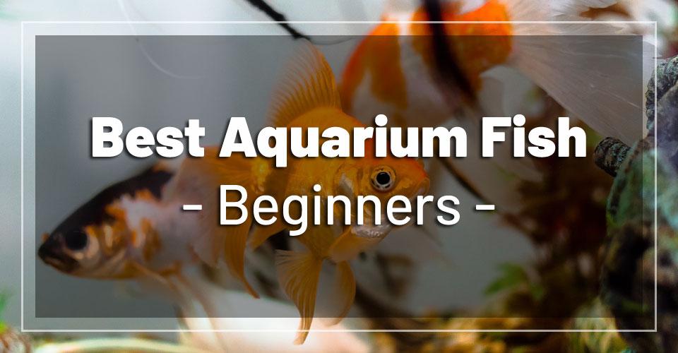 best-aquarium-fish-beginners