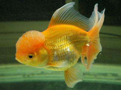 goldfish-beginners