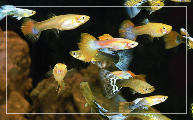 Can Guppy Fish Survive In Tap Water