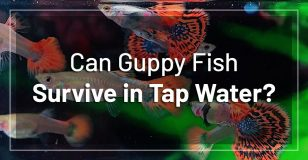 guppies-survive-tap-water