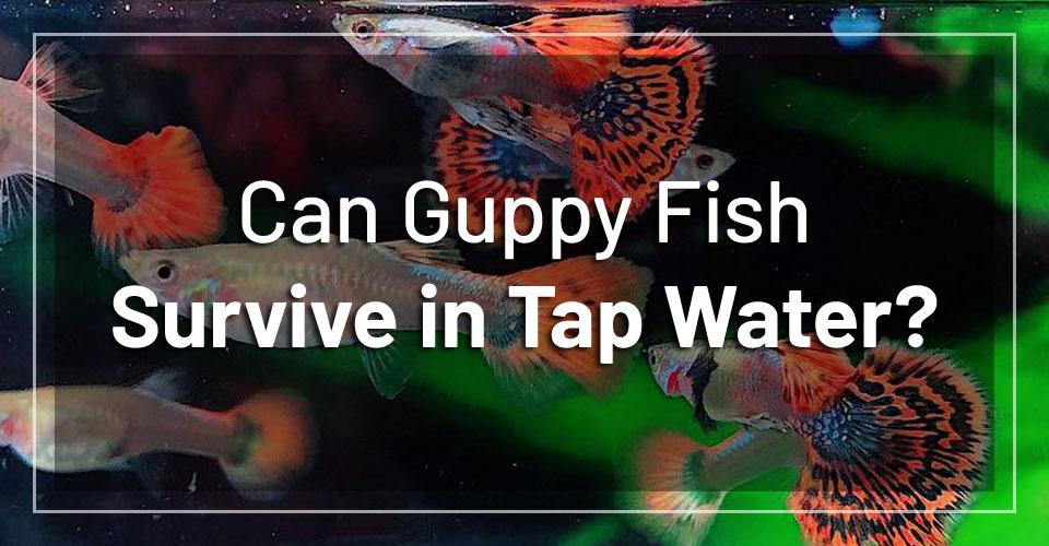 guppies-survive-tap-water