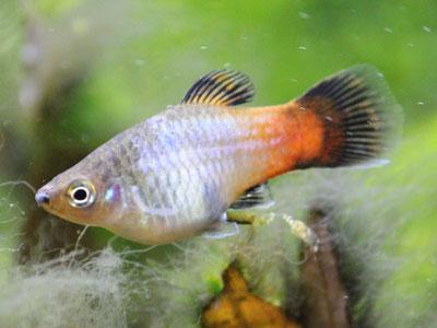 platy-fish-beginners
