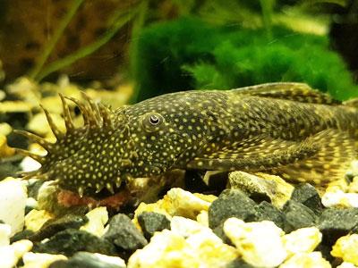 pleco-fish-beginners