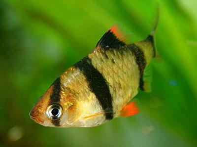 тигр-Барб-рыба-новички