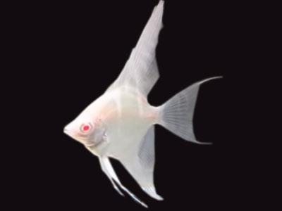 albino-angelfish