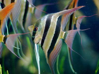 altum-angelfish
