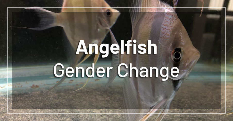 angelfish-scalar-change-gender