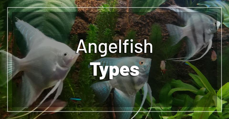angelfish-types