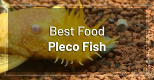 best-food-pleco-fish