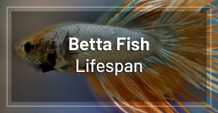 betta-fish-lifespan