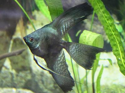 black-veil-angelfish